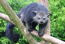 220px-Binturong_in_Overloon
